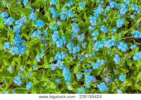 Beautiful Nature Spring Background Of Blue Forget Me Not Flowers. Gentle Wild Forget-me-not Flowers