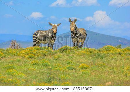 Two Frontal Cape Mountain Zebra, Equus Zebra, In Flowery Grassland Of Zebra Mountain National Park,