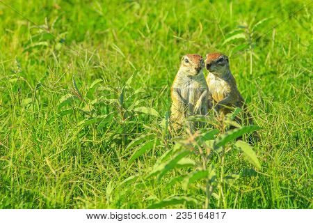 Couple Of African Squirrel Standing In The Grassland During A Safari In Zebra Mountain National Park