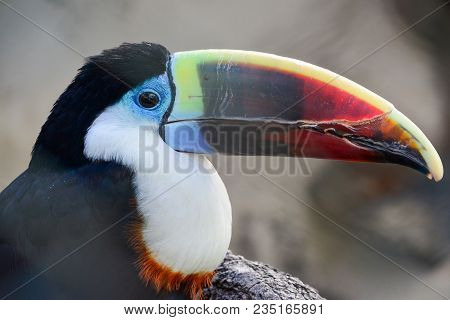 Tropical Toucan Bird Against Gray Blured Background, Portrait, Close Up View
