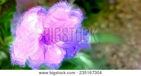 Purple Mexican Petunia Also Known As Brittons Wild Petunia Or Mexican Bluebell Native To Mexico And
