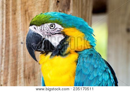 Yellow And Blue Macaw Face Close Up.