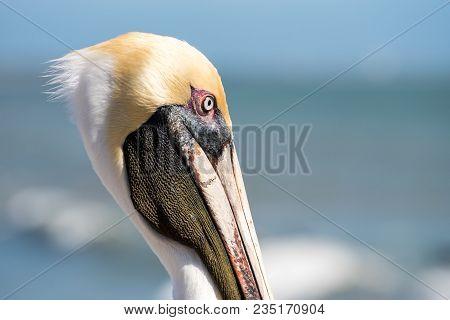 Brown Pelican At The Ocean Face Close Up