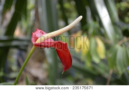 Tropical Flamingo Flower Isolated With A Blurred Greenery Nature Background