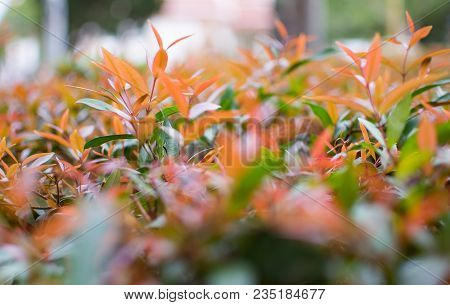 This Is The Close Up Picture Of Ixora Leaves. Its Flowers Are Called Needle, A Small Tree With Red A