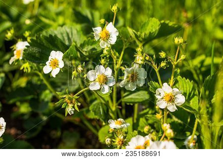 White Strawberry Flowers.strawberry Bush.strawberries In The Garden.close-up.selective Focus