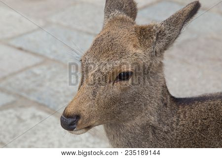 Close-up Of Tame Deer In The Public Nara Park In Japan
