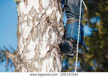 Device For Climbing A Tree. Arborist Using A Chainsaw To Cut Tree, Tree Pruning.