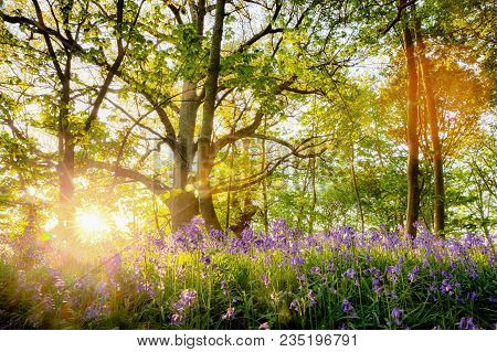 Amazing Bluebell Forest With Sunrise Bursting Through The Trees, Fresh Natural Landscape With Spring