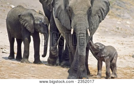 Africa-Elephant Family