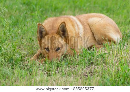 Mixed Breed Red Dog Lying In Spring Grass And Watching