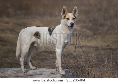 Portrait Of Cross-breed Of Hunting And Northern White Dog Standing On A Log Watching For Enemies