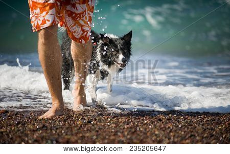 The Man Goes With His Dog (black And White Border Collie) Out Of The Sea