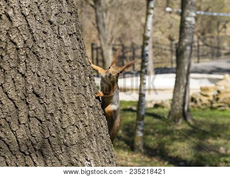 Squirrel Sits On A Tree Trunk And Looks Straight