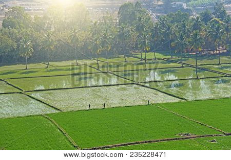 Green Rice Fields Or Terraces In The Village Of Hampi. Palm Trees, Sun, Rice Fields, Large Stones. T