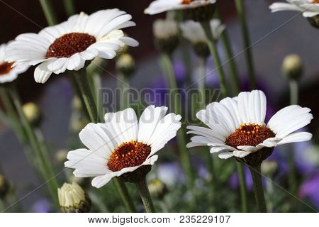 White Rhodanthemum Hosmariense Casablanca Is A Hybrid From The Atlas Daisy Series. Moroccan Daisy Is
