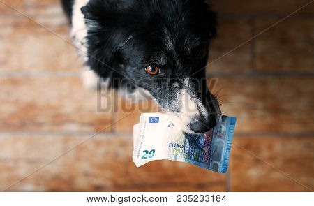 Dog Holding Money In The Mouth. Black And White Border Collie With Euro Banknotes.