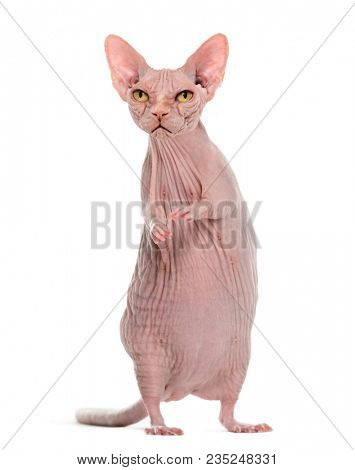 chimera with Angry hairless Sphinx cat and rat's body against white background