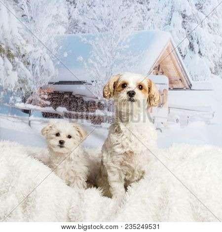 Two Shih Tzu's sitting on white rug against winter landscape