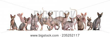 Sphinx Hairless Cats sitting and standing against white background
