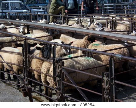 Penned Sheep 1