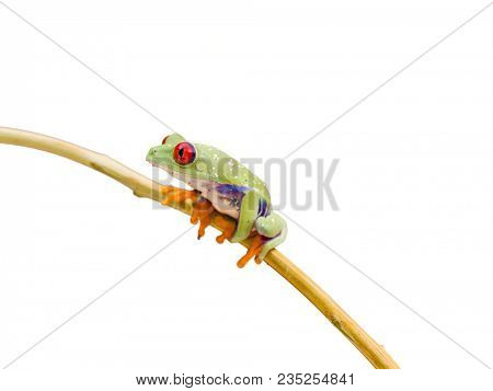 Callidryas or Red Eyed Green Tree Frog from Costa Rica