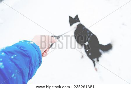 Hand With A Leash And Pulling Dog. Light Blue Sleeve And Black And White Border Collie. Very Soft An