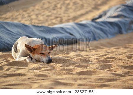 The Stray Dog Lying On The Sand Beach On Ceylon.