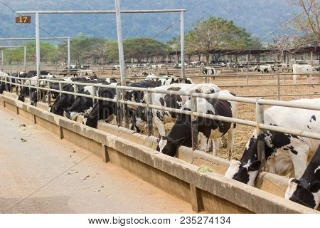 Cows On A Farm And Herd Of Cows Eating Hay In Cowshed On Dairy Farm