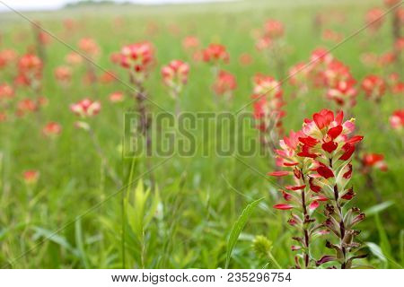 The Lovely, Blooming Indian Paintbrush Are At Its Peak...