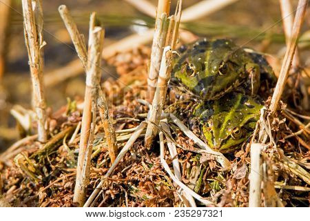 A Couple Of Marsh Frogs Sitting On Top Of Eachother. (pelophylax Ridibundus)