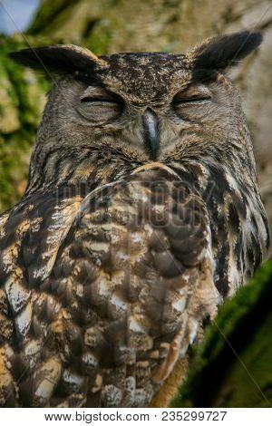 A Portrait Eurasian Eagle-owl Snoozing In A Tree. Also Known As European Eagle-owl Or Eagle-owl. (bu