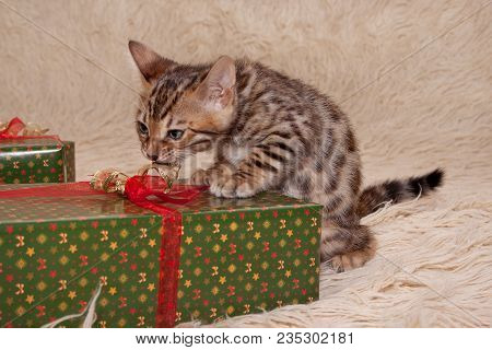 Cute Bengal Kitten Are Playing On A Soft Coverlet With Festive Gifts. One Month Old. Pet Animals.