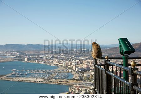 Barbary Macaque Monkey Overlooking Port Of Gibraltar.