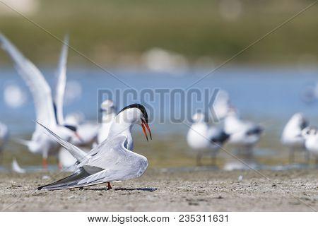 Common Tern On Land Near Water Pond. Sterna Hirundo