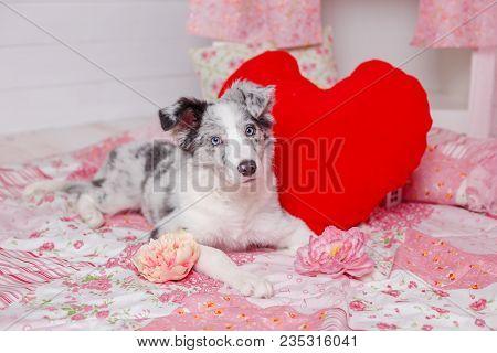 Australian Shepherd Aussie , 3 Months Old, Sitting Against Romantic Pink Decorations. Little Princes
