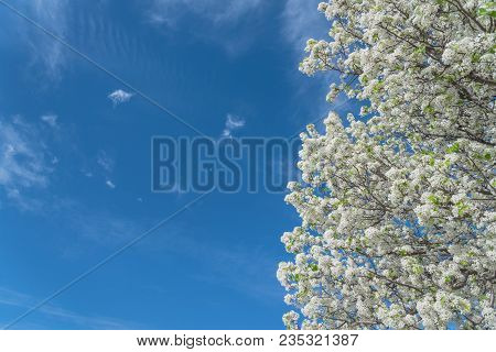 Flowering Bradford Pear Tree Blossom In Spring At Irving, Texas, Usa