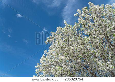 Flowering Bradford Pear Tree Blossom In Spring At Irving, Texas, Usa