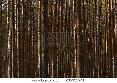 Background - Wall Of Sunlit Golden Pine Trunks In The Forest