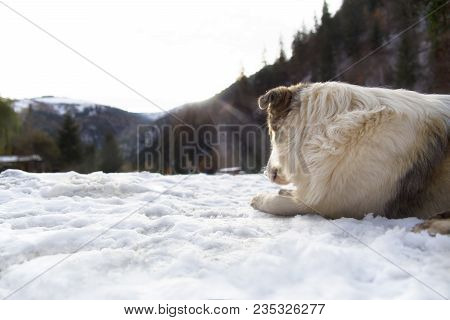A Romanian Shepherd Dog Looks Out On The Racatau Valley, Romania As The Sun Rises Above The Mountain