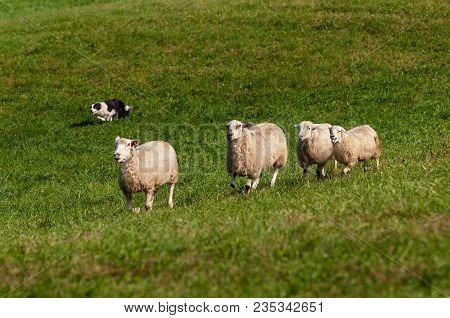 Herding Dog Runs In Four Sheep (ovis Aries) - At Sheep Dog Herding Trirals