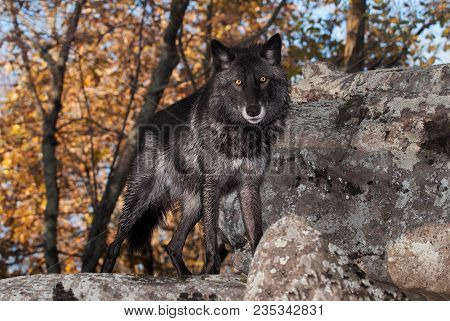 Black-phase Grey Wolf (canis Lupus) Looks Out From Atop Rock - Captive Animal