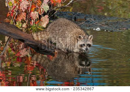 Raccoon (procyon Lotor) In Water At End Of Log - Captive Animal