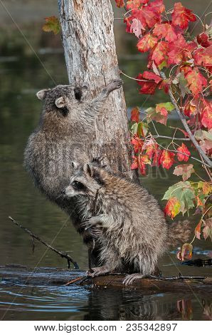 Two Raccoons (procyon Lotor) On And Near Tree - Captive Animals