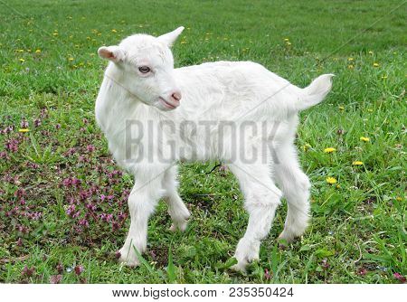 Beautiful cute baby goat kid kiddy spring scene in colorful meadow with flowers