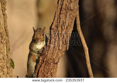 An Eastern Gray Squirrel Resting In A Tree On A Late Afternoon Day In Missouri.