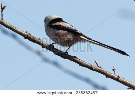 Long-tailed Tit Sitting On The Branch. Long-tailed Tit Close Up. Kiev. Ukraine, 2018.