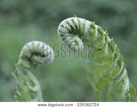 Two Young Rolled Springs Of The Shuttlecock Fern, Or Ostrich Fern, Matteuccia Struthiopteris, On Blu