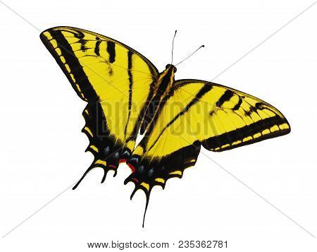 Bright Yellow Two-tailed Swallowtail Butterfly, Papilio Multicaudata, Isolated On White Background.