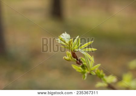 Young Green Leaves Of Mountain Ash In Early Spring. Beginning Of Springtime. Blurred Background, Foc